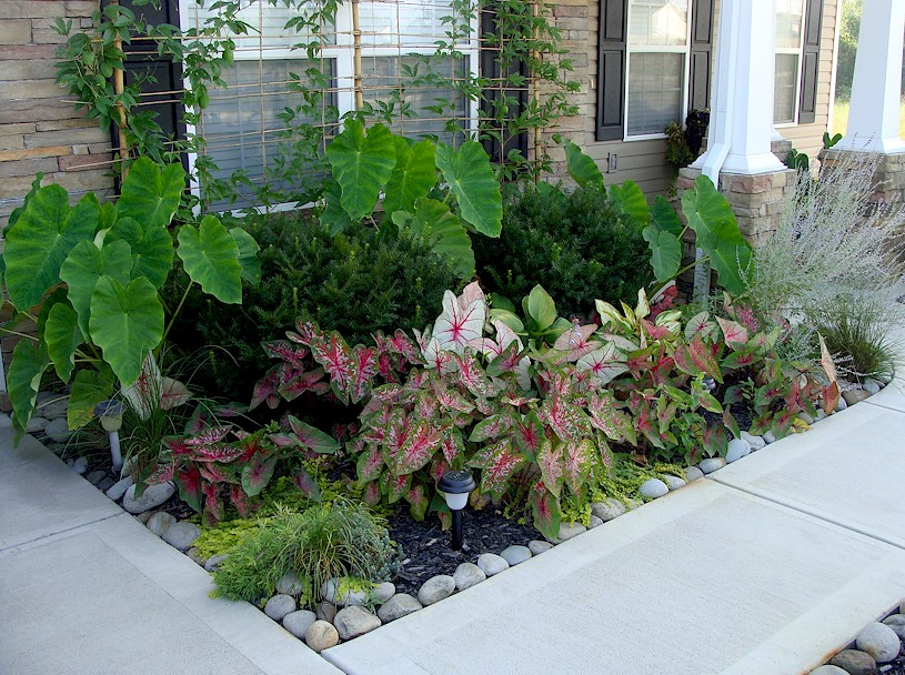 Caladiums Hostas Elephant Ears Among Others Front Gar Flickr