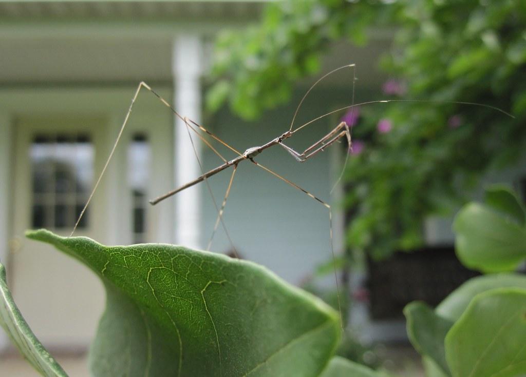 Praying Mantis Or Walking Stick Thread Legged Bug Flickr