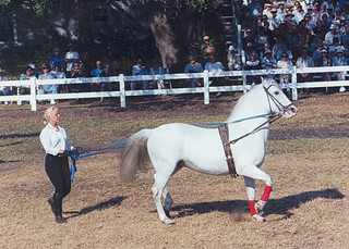 Royal Lipizzan - Performing Horse