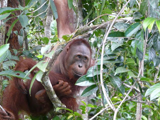 Orangután en Borneo (Indonesia)