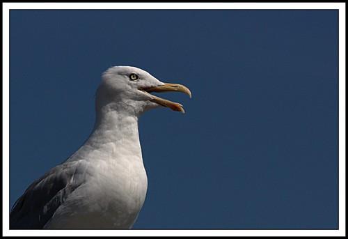 Panting Seagull | by Iguanasan