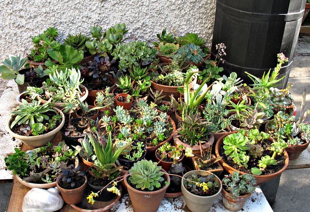 How To Plant Succulents From Cuttings   Leaf & Stem Cuttings