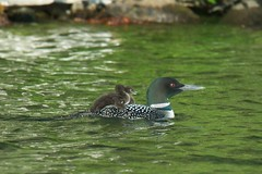 Baby Loons!