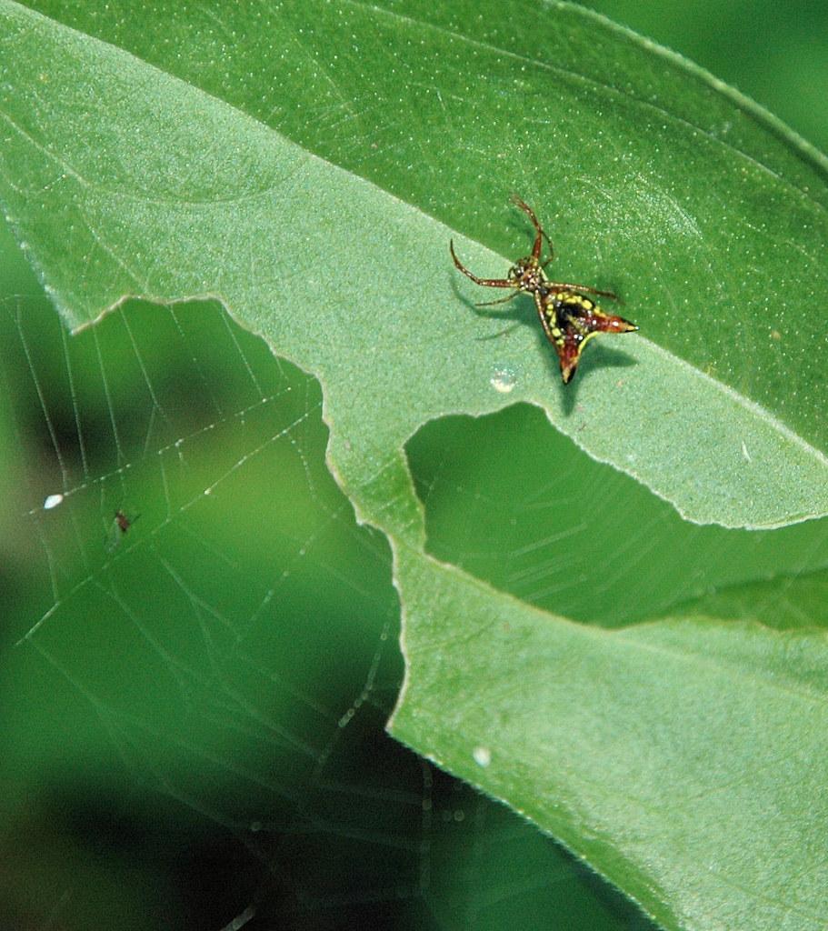 devil spider2