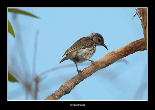 Bar-breasted Honeyeater | by Ross_M