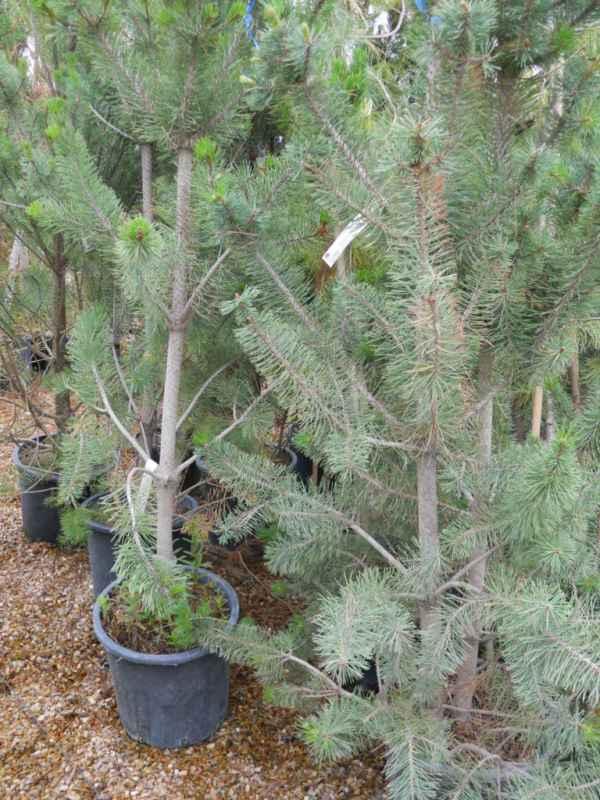 Pinus nigra v 1