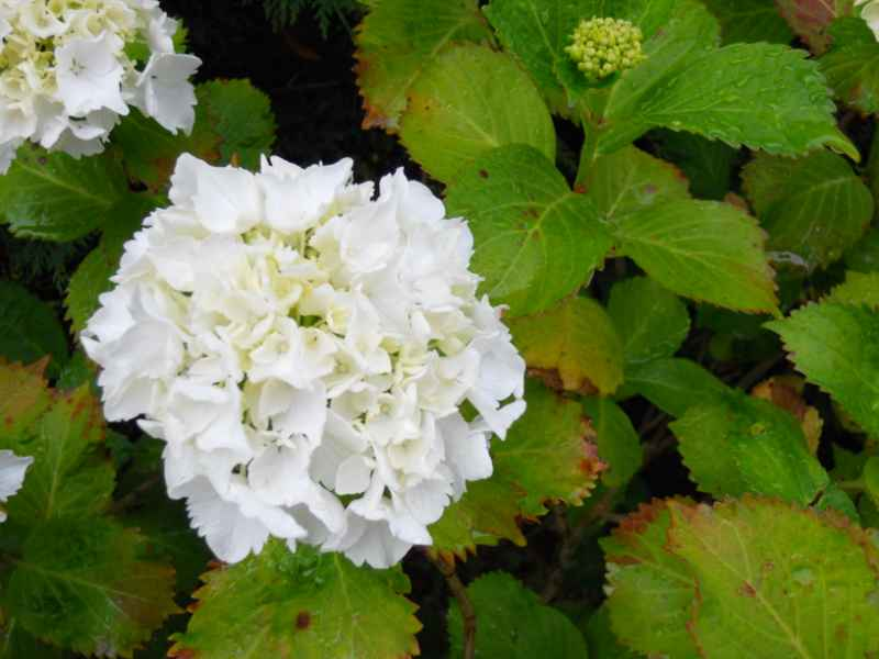 Hydrangea arborescens 'Anabelle' 1