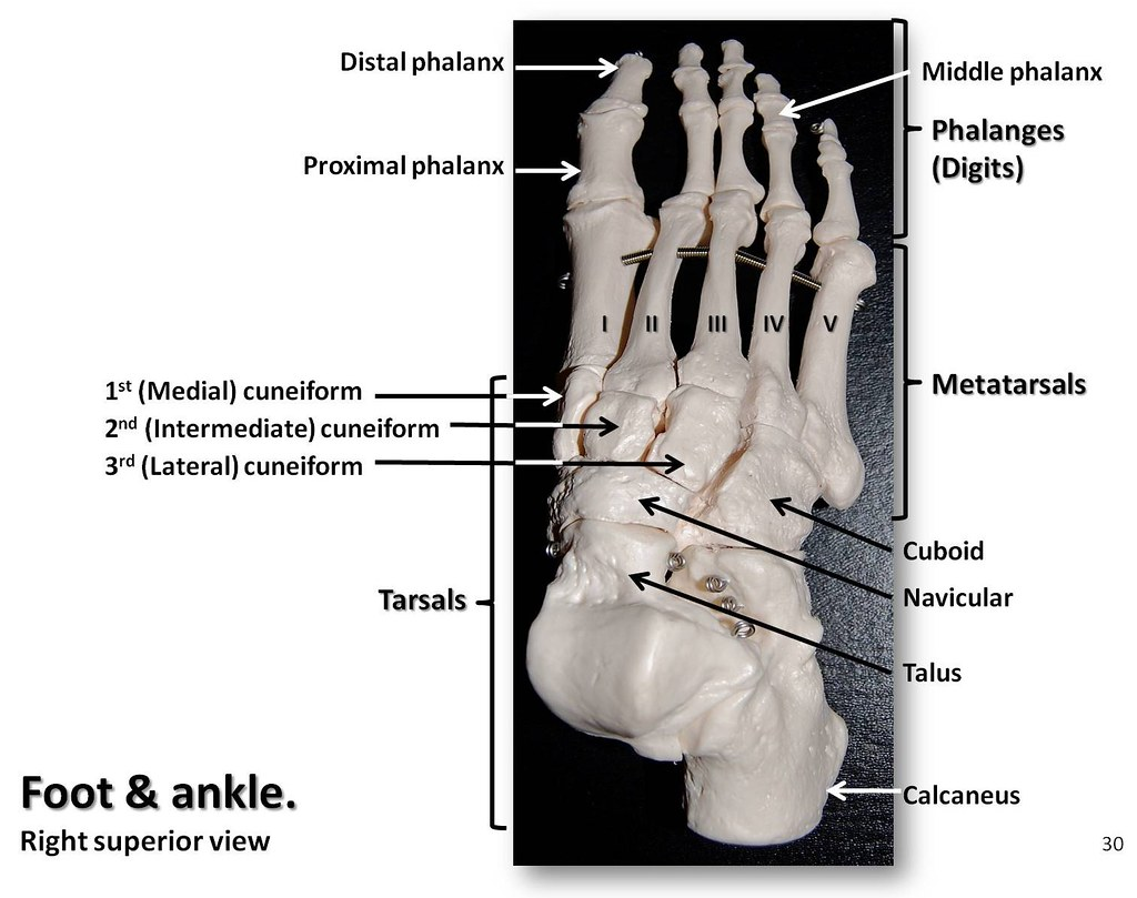 bones of the foot and ankle, superior view with labels - appendicular  skeleton visual atlas