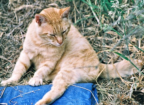 Orange Mid-Tail Feral Cat by Chriss Pagani