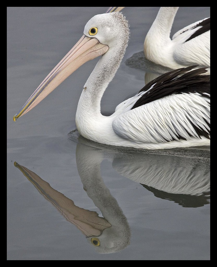 Pelican Reflection and Hook in Neck-01