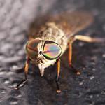 Horseflies have supercool eyes