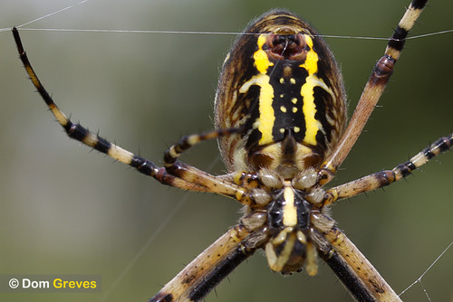 Wasp Spider Spin | by Dom Greves