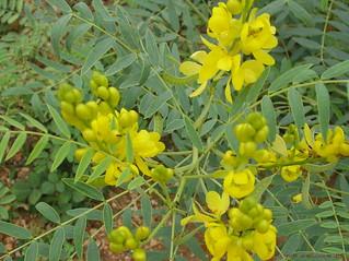 Senna alexandrina Mill./Cassia angustifolia L. (Senna Plant) | by lalithamba