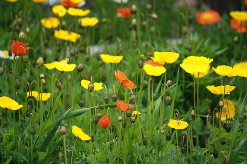 flowers tizergardensmay302010 tizergardensmontana