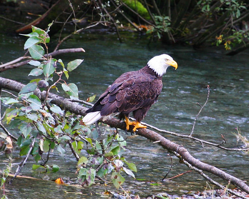 Bald Eagle waits for salmon | by jitze
