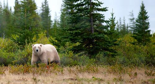 Polar Bear at Nanuk