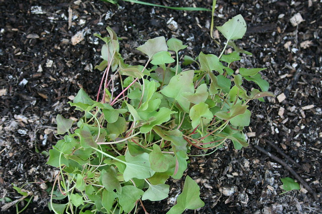 Buckler Leaf Sorrel