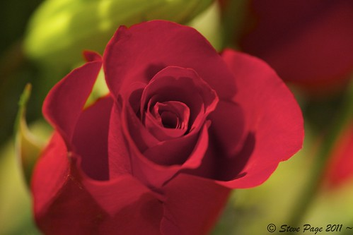 red eos bokeh redrose rosebud stevepage 3200iso itail stephenpage canon5dmarkii canonef100mmf28lisusmmacro pagephotos happyvalentinesdayrose