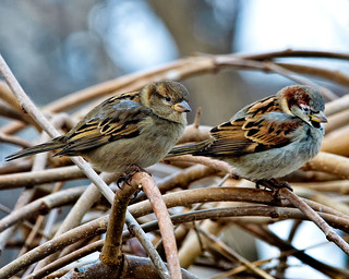 Male and Female House Sparrows. | by Robert Scott Photographyy