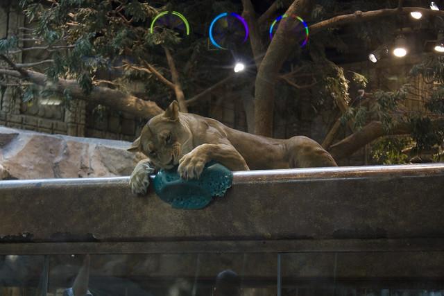 @ mgm grand lion habitat