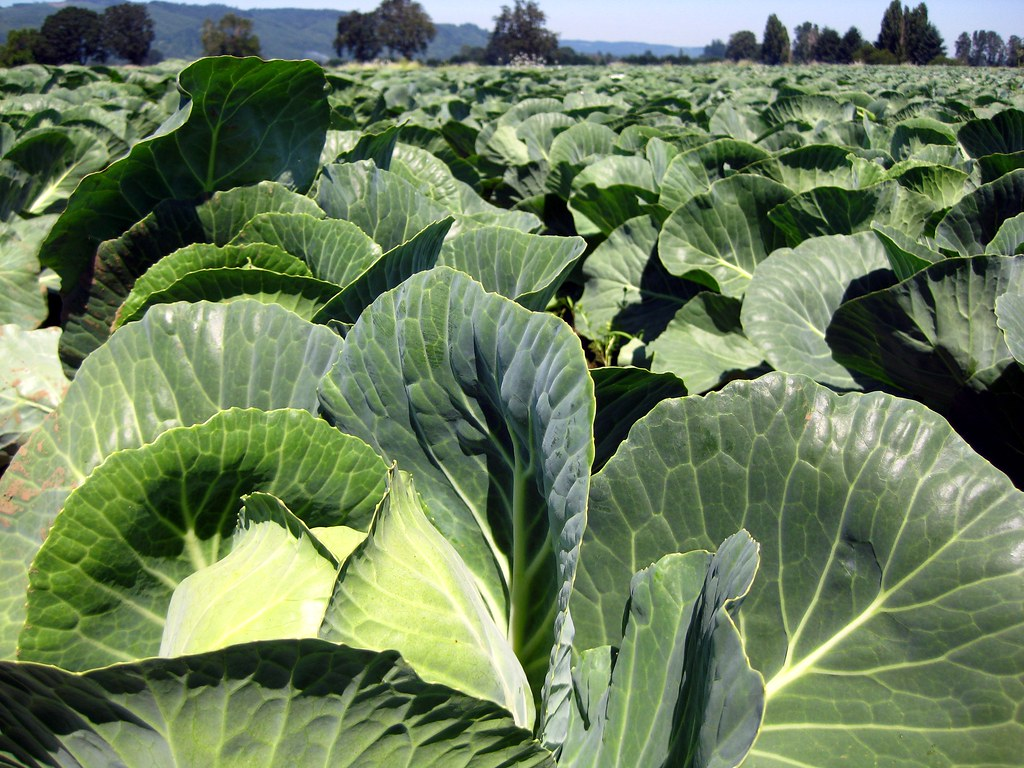 cabbage | Fastest Growing Vegetables That You Should Plant In Your Garden | growing crops
