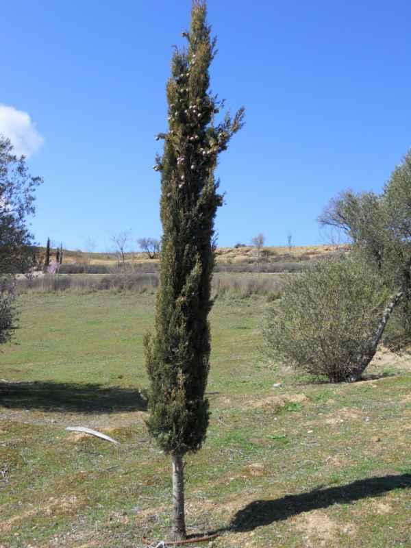 Cupressus sempervirens 'Stricta' v 1