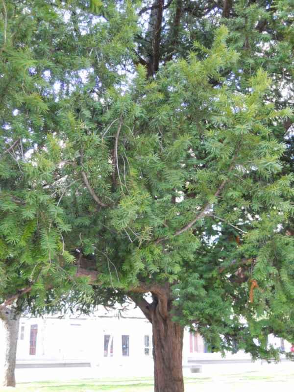 Taxus baccata árbol v 4