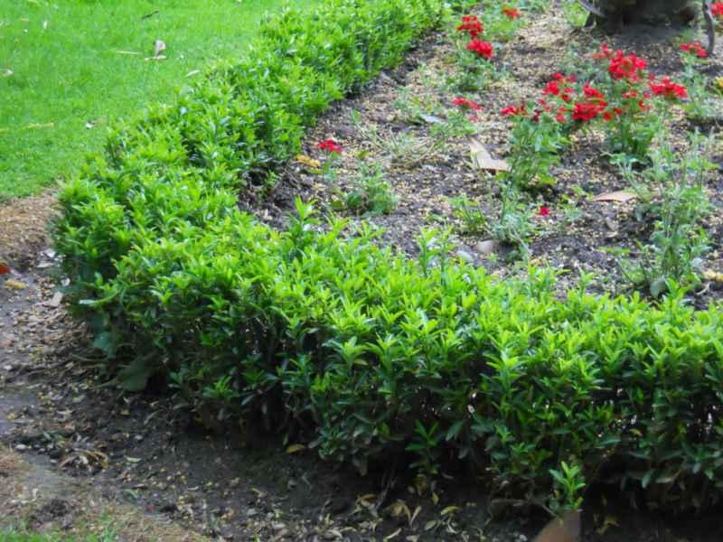 Buxus sempervirens 'Suffruticosa' seto 4