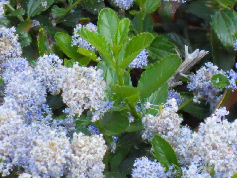 Ceanothus arboreus.. detalle 2