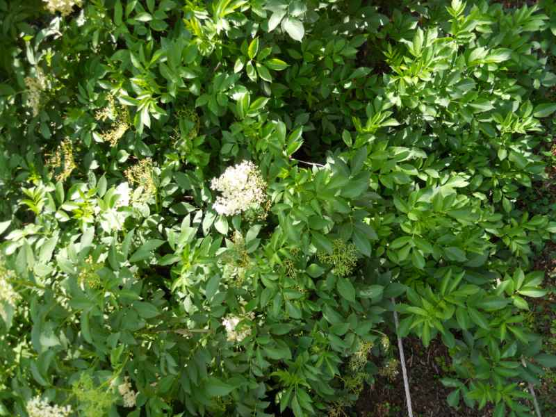 Sambucus nigra 3