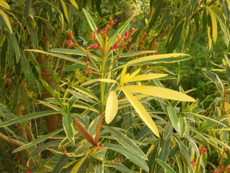 Nerium oleander 'Spendens Giganteum Variegatum' detalle 3
