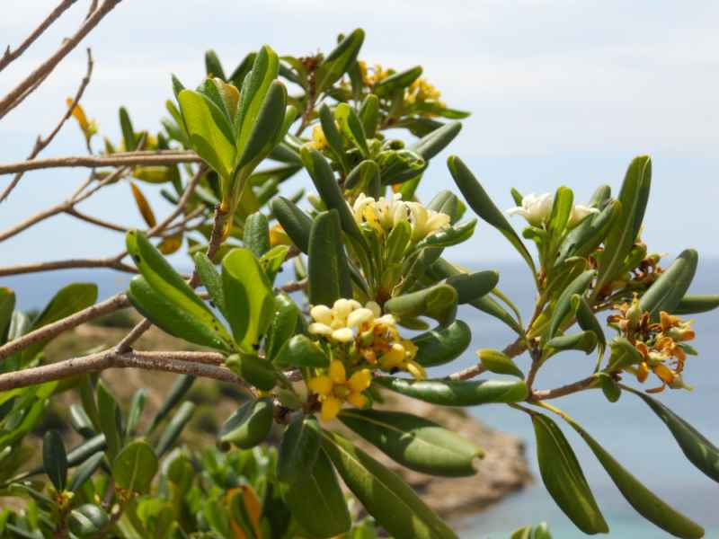 Pittosporum tobira flor 4
