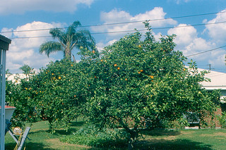 Fort Pierce - Orange Trees in Back Yard