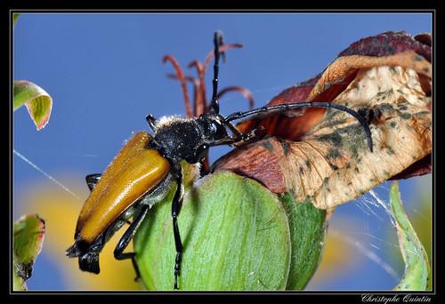 Paracorymbia fulva (Lepture fauve)
