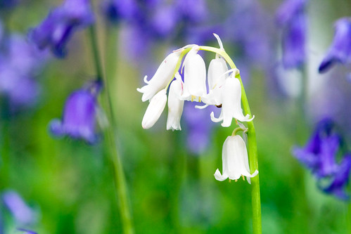 White in the bluebells | by sparkleshots (trying to catch up)