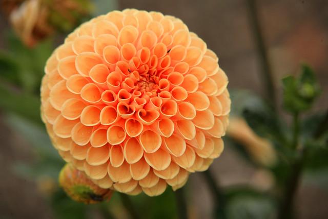 A perfect orange dahlia - scotney