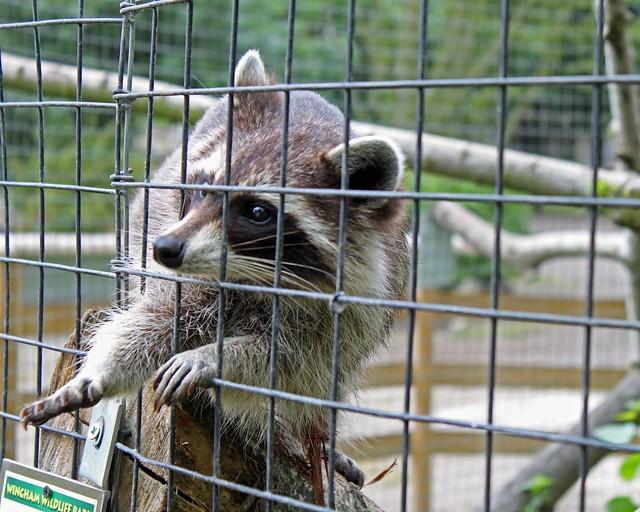 Raccoon begging at all angles