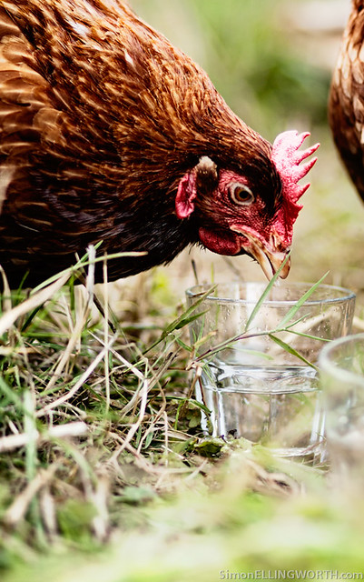 Chicken drinking from a glass