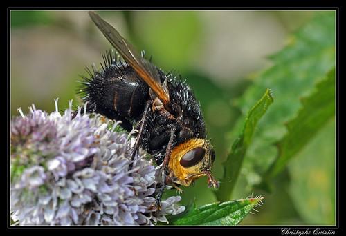 Tachina grossa (Echinomyie grosse)