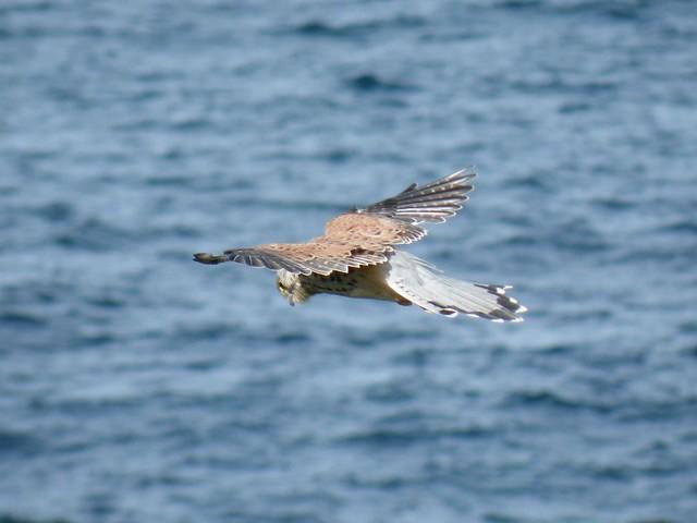 Bird of Prey - Port Isaac Cliffs, Cornwall, UK
