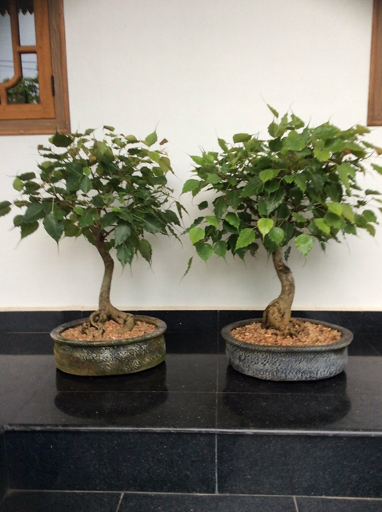 Ficus religiosa bonsai ' twins ' eighteen years old. -