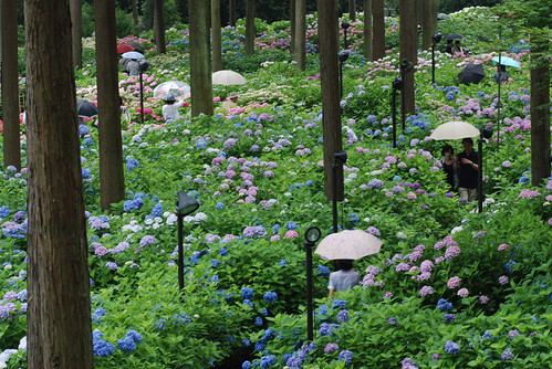 Blooming of hydrangeas and umbrellas