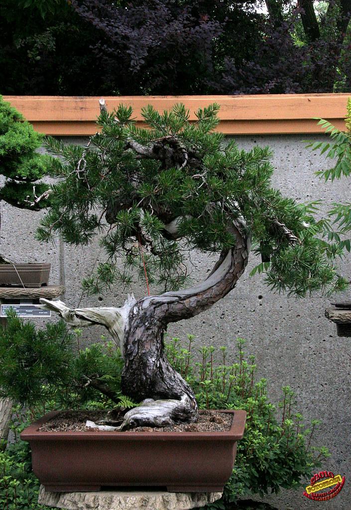 Bonsai Penjing Jack Pine Pinus Banksiana Pinaceae 365 Years Old Created By S Nakamura Japan Donated By Soc De Bonsai Penjing De Mtlc20100620 068 A Photo On Flickriver