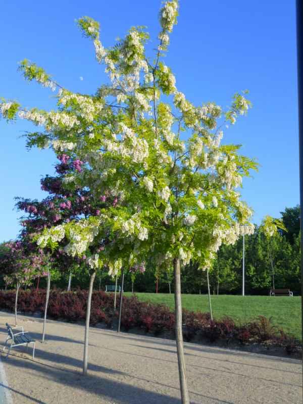 Robinia pseudoacacia 'Frisia' árbol v 4