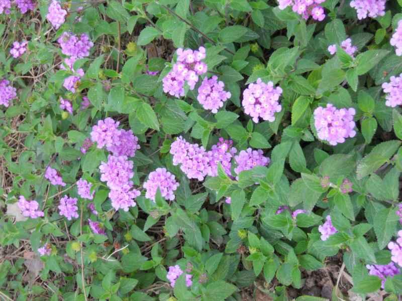 Lantana montevidensis 'Violet' cubresuelos 2