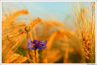 Cornflower | by schmilar77