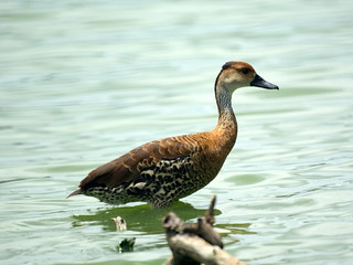 West Indian Whistling Duck | by Mike's Birds