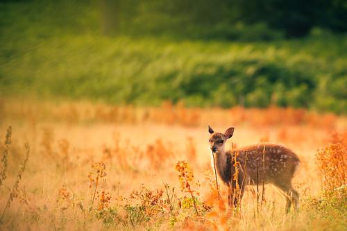 morning summer england nature fairytale forest sunrise golden countryside kent nikon bokeh wildlife deer wonderland storybook magical 70200 f28 enchanted d3