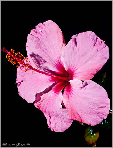 Hibiscus....   by Mgoncalles