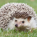 Hedgehogs - Photo (c) Joanne Goldby, some rights reserved (CC BY-NC-SA)